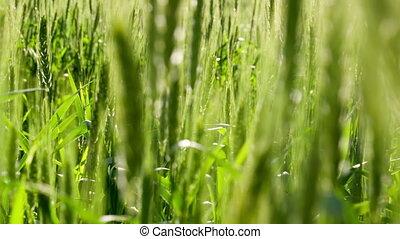bon, avenir, récolte, hd