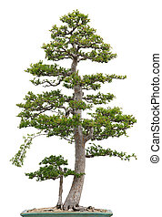 bonsai, orme, arbre, élégant, fond, blanc