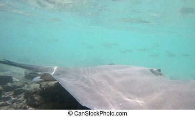 bora, vie sauvage, polynésie, stingray, nature, francais, vidéo, bora, sous-marin