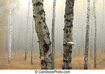 bosquet, arbres, bouleau
