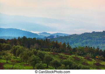 bosquet, olive, toscane, colline, levers de soleil