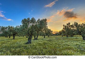 bosquet vert olive, levers de soleil