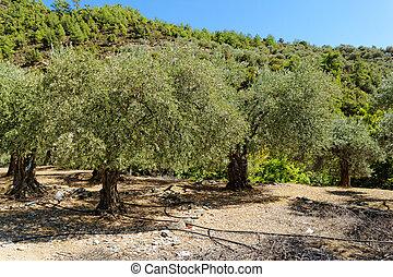 bosquet vert olive