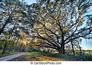 botanique, mousse, sur, chêne, baie, drapé, vivant, edisto, plantation, rivière, caroline sud