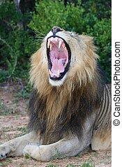 bouche, projection, ouvert, lion, dents