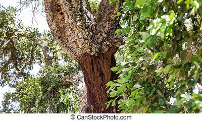 bouchon, arbre, portugal
