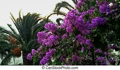 bougainvillea, fleur