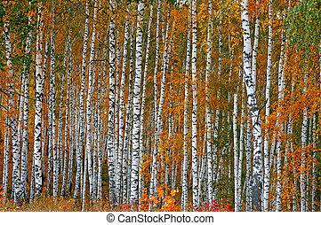 bouleau, automne, fond, bosquet