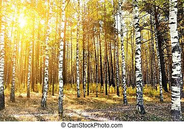 bouleau, forêt, été, arbres