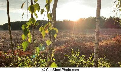 bouleau, sways, branche, oiseaux, contre, champ, labouré, sunset., fond, horizon., voler