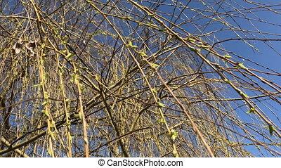 bourgeons, bleu, branches, wind., sky., saule, trembler, floraison, contre