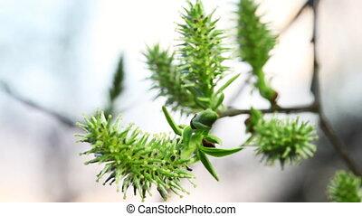 bourgeons, branches, mouvementde va-et-vient, saule, floraison, vent