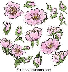 bourgeons, ensemble, scrapbooking, clipart, rose, chien, vecteur, fond, sauvage, fleurs blanches, dessin