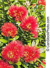 bourgeons, fleurs, pohutukawa, rouges