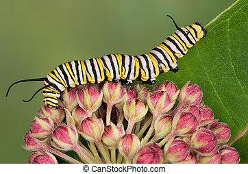 bourgeons, monarque, chenille, milkweed