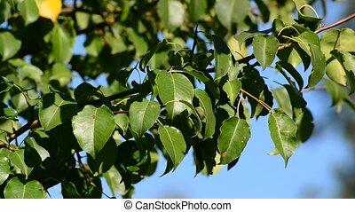 branche, vent, arbre, poire, feuilles, été