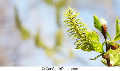 branches, mouvementde va-et-vient, saule, printemps, floraison, bourgeon, vent
