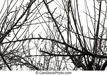 branches, neigeux
