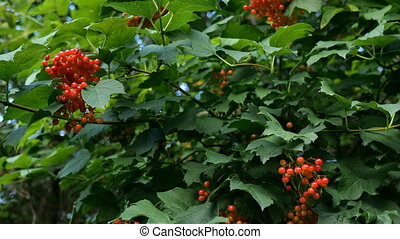 branches, viburnum, feuilles, pendre, juteux, arbre., vert, branche, groupes, baies, ou, rouges, opulus.