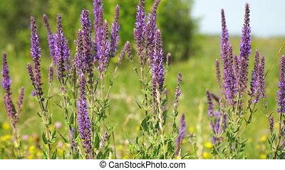 breeze., été, pratensis, sauvage, wild., salvia, pré, pourpre, sauge, fleurs, sways, jour
