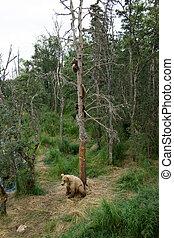 brun, alaska, arbre, ours, petits, truie