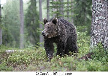 brun, européen, arctos, ursus, ours