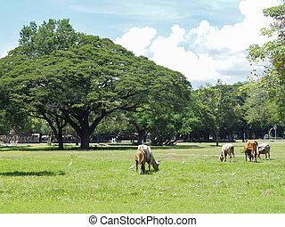 brun, manger, champ, vaches, blanc, herbe