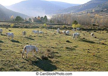 brun, manger, hiver, bétail, vaches, herbe, pré
