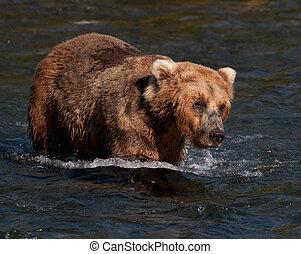 brun, marche, ours alaska, eau, par