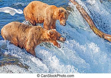 brun, national, saumon, mi, ours, air, parc, attraper, chutes, ruisseaux, alaska, katmai, sauter