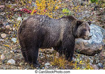 brun, nourriture, ours, grand, bois, trouvé