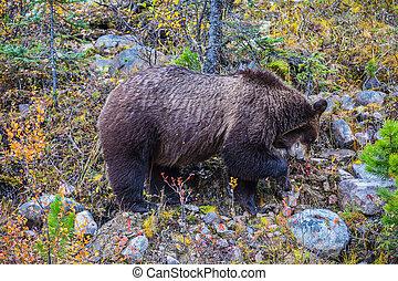 brun, nourriture, ours, grand, forêt, trouvé