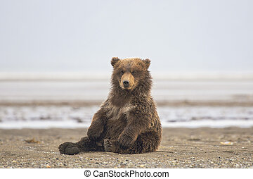 brun, petit, ours