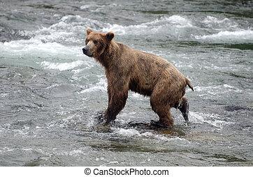 brun, rivière saumon, ours, peche, grand