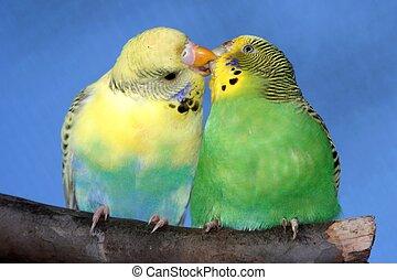budgie, mignon, paire, baisers