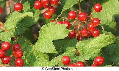 buisson, baies, rouges, viburnum