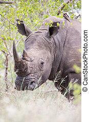 buisson, dissimulation, vieux, portrait, rhinocéros, poachers, dense