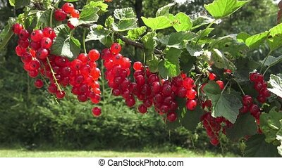 buisson, groseille, jardin, rouges, pendre