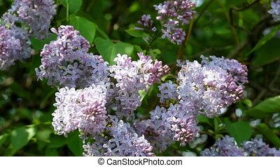 buisson, lilas, printemps, floraison, grand