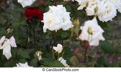 buisson rose