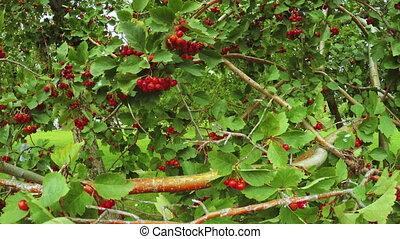 buisson, viburnum