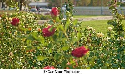 buissons, rose, lent, parc, mouvement