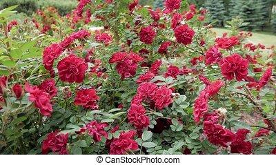 buissons, roses, parc, rouges