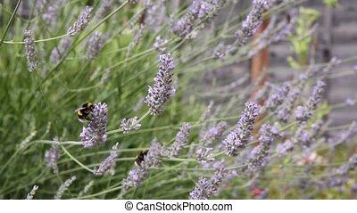 bumble, lavande, atterrissage, abeille