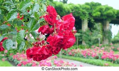 bush., nombre, grand, roses, pendre, rouges