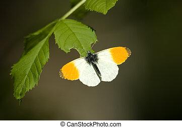 butterfly/orange, pointe