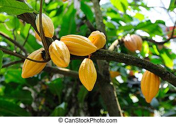 cacao, arbre, boîtiers