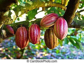 cacao, frais
