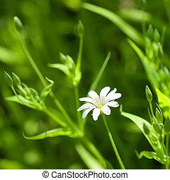 camomille, blanc, herbe, vert