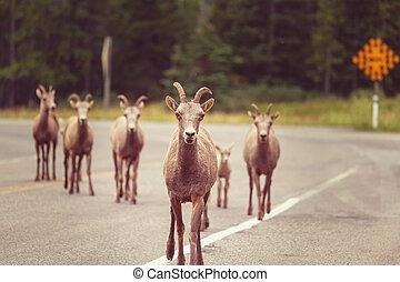 canada, chèvre